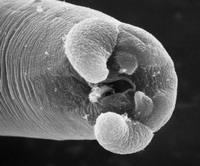 Trikinmask i mikroskop